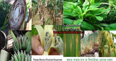 কলার বিভিন্ন রোগের লক্ষণ ও প্রতিকার ( Disease Management of Banana)