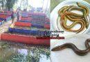 কুচিয়া মাছ বগুড়া জেলার আদমদীঘিতে বাণিজ্যিকভাবে চাষ