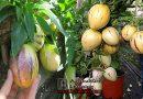 পেপিনো মেলন (pepino melon), ফল এখন বাংলাদেশে চাষ হচ্ছে