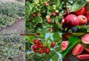 স্ট্রবেরি পেয়ারা এখন বাংলাদেশে চাষ হচ্ছে যা ব্রাজিলের বিখ্যাত পেয়ারা